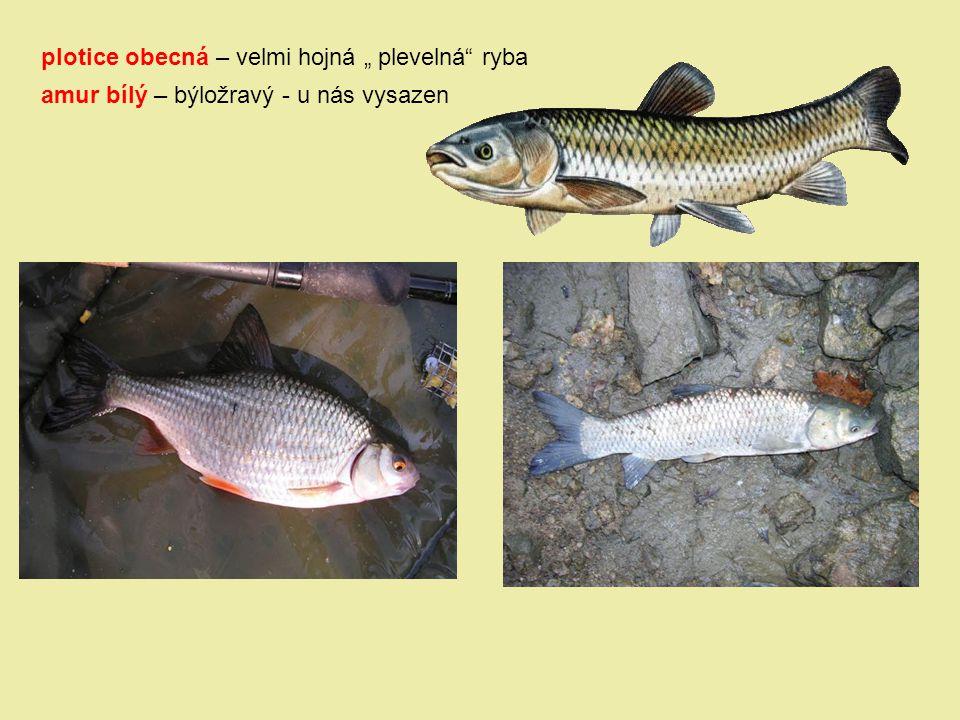 """plotice obecná – velmi hojná """" plevelná ryba"""