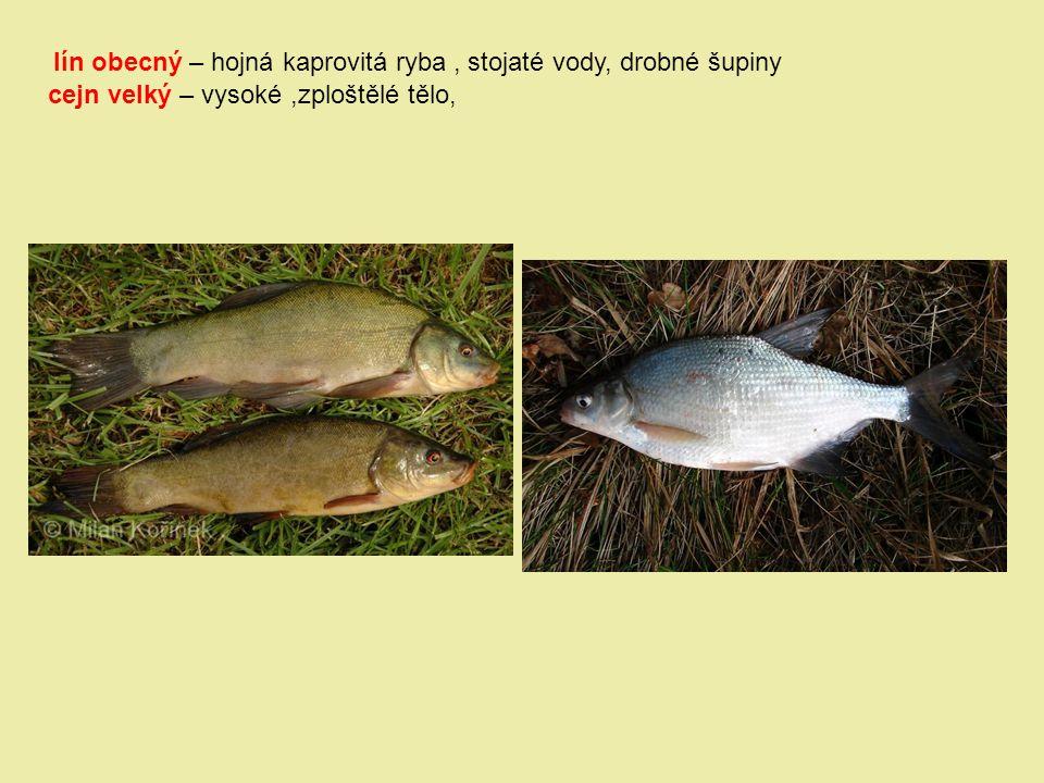 lín obecný – hojná kaprovitá ryba , stojaté vody, drobné šupiny
