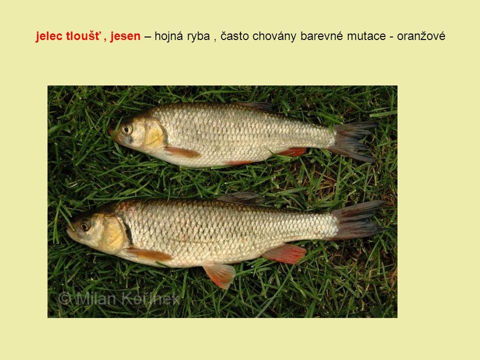 jelec tloušť , jesen – hojná ryba , často chovány barevné mutace - oranžové
