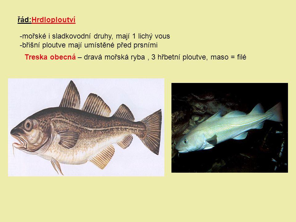řád:Hrdloploutví -mořské i sladkovodní druhy, mají 1 lichý vous. -břišní ploutve mají umístěné před prsními.