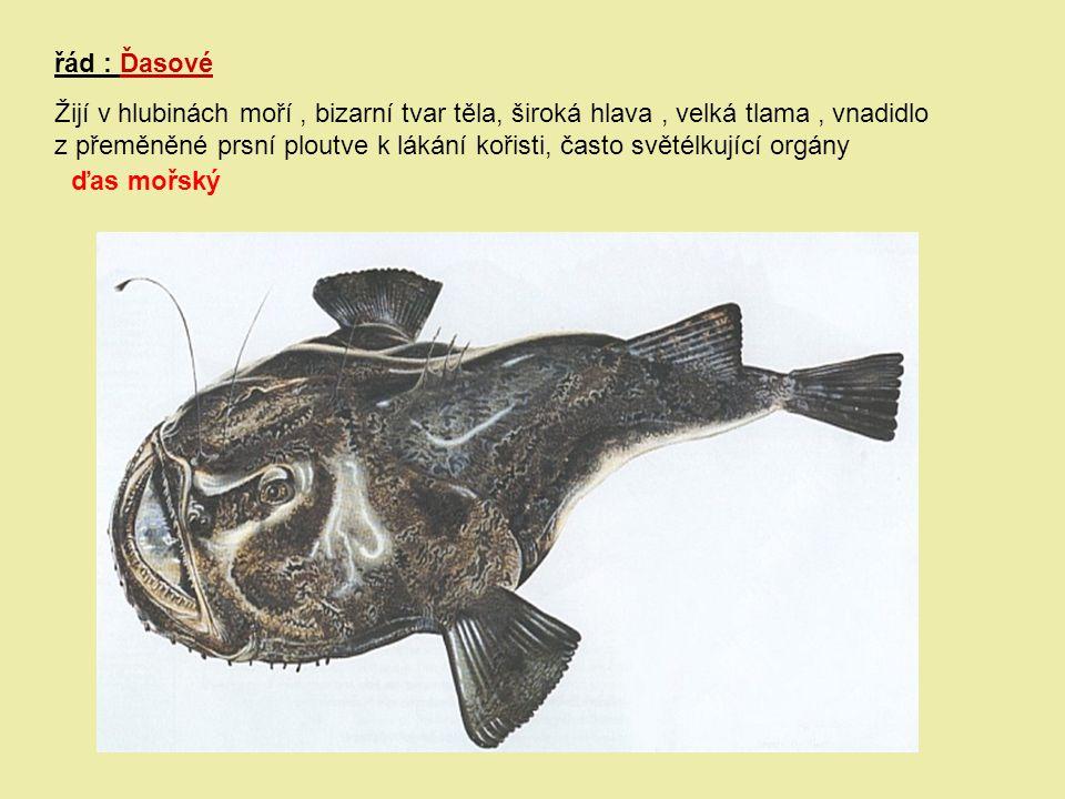 řád : Ďasové Žijí v hlubinách moří , bizarní tvar těla, široká hlava , velká tlama , vnadidlo.