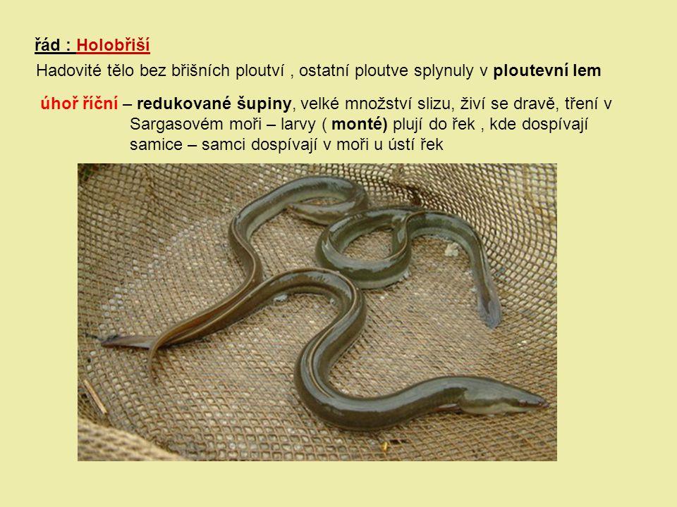 řád : Holobřiší Hadovité tělo bez břišních ploutví , ostatní ploutve splynuly v ploutevní lem.