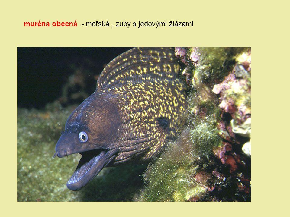 muréna obecná - mořská , zuby s jedovými žlázami