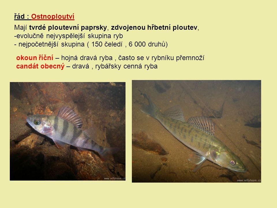 řád : Ostnoploutví Mají tvrdé ploutevní paprsky, zdvojenou hřbetní ploutev, evolučně nejvyspělejší skupina ryb.