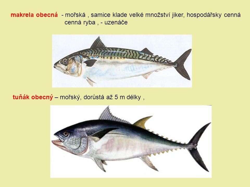makrela obecná - mořská , samice klade velké množství jiker, hospodářsky cenná