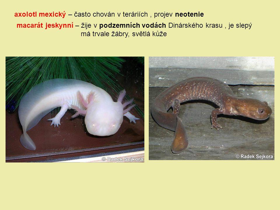 axolotl mexický – často chován v teráriích , projev neotenie