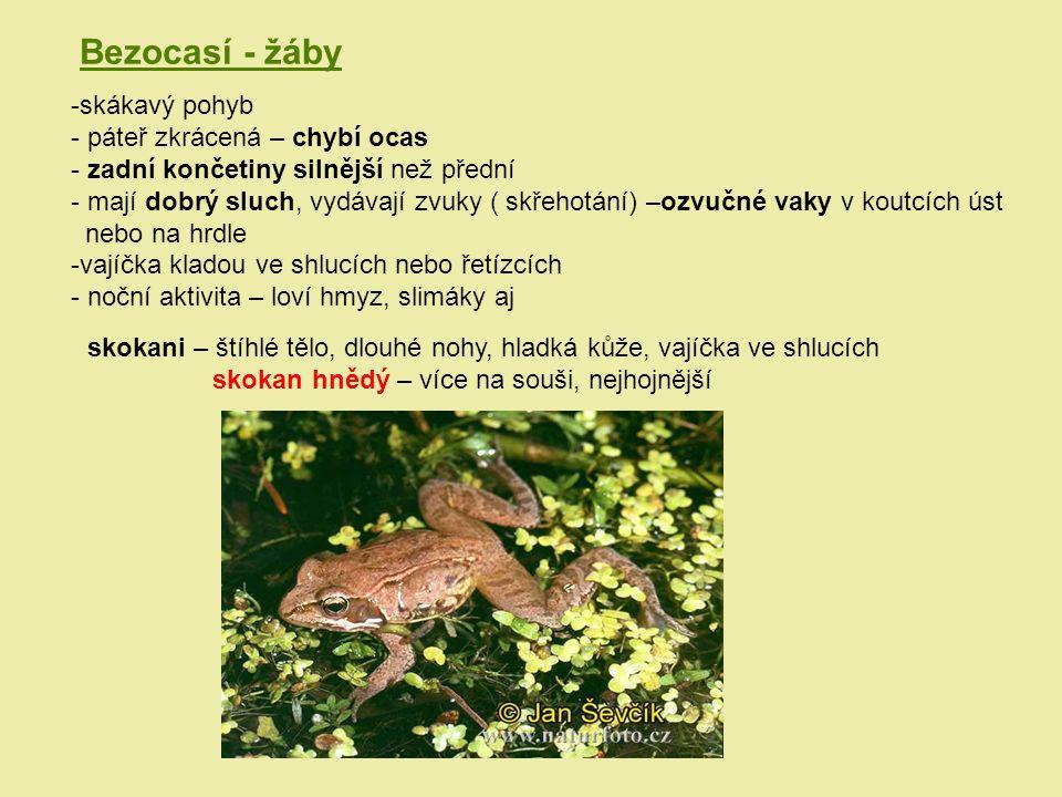 Bezocasí - žáby skákavý pohyb páteř zkrácená – chybí ocas