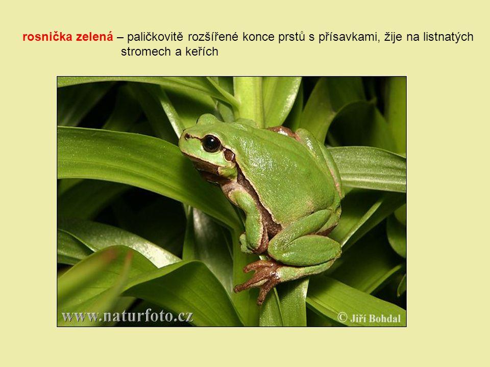 rosnička zelená – paličkovitě rozšířené konce prstů s přísavkami, žije na listnatých