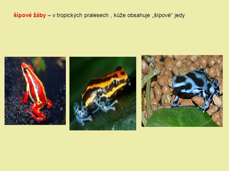 "šípové žáby – v tropických pralesech , kůže obsahuje ""šípové jedy"