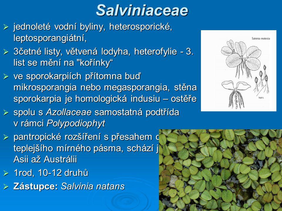 Salviniaceae jednoleté vodní byliny, heterosporické, leptosporangiátní, 3četné listy, větvená lodyha, heterofylie - 3. list se mění na kořínky