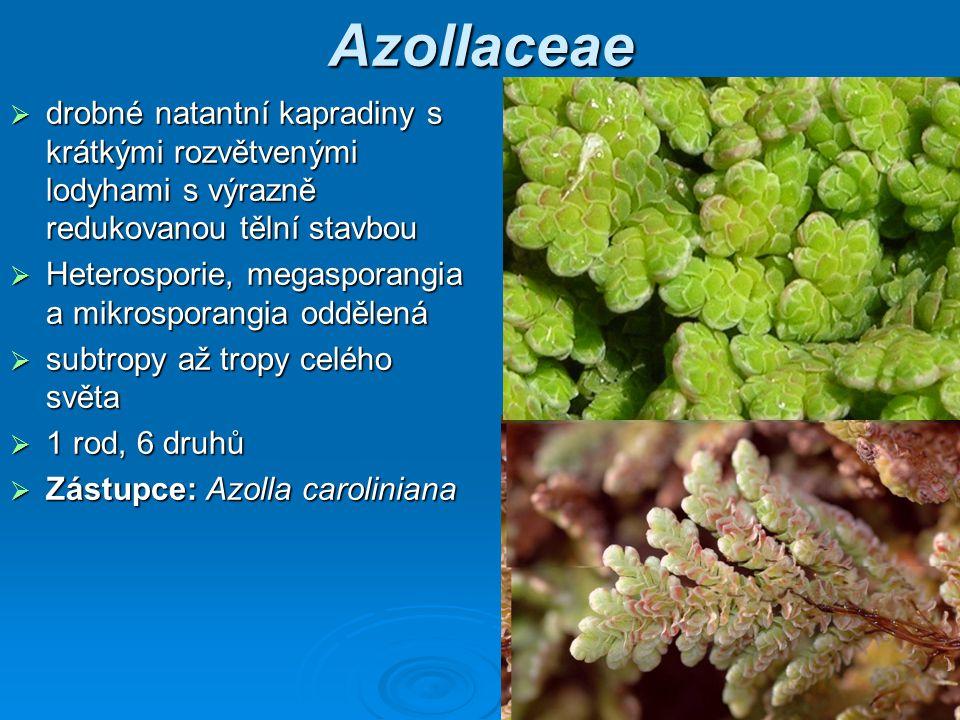 Azollaceae drobné natantní kapradiny s krátkými rozvětvenými lodyhami s výrazně redukovanou tělní stavbou.