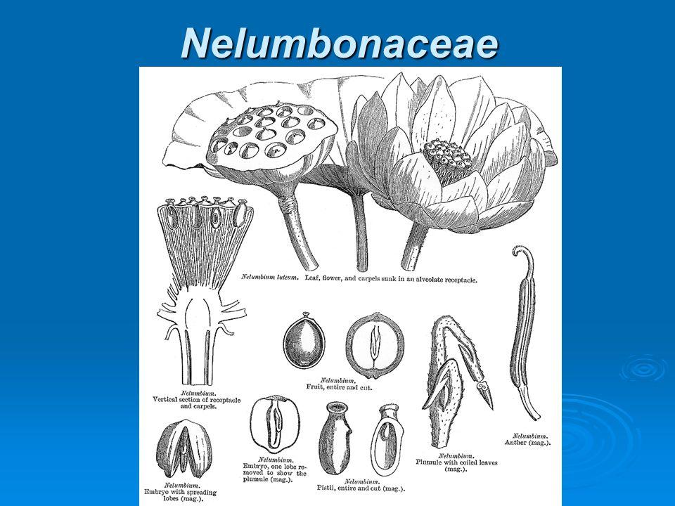 Nelumbonaceae