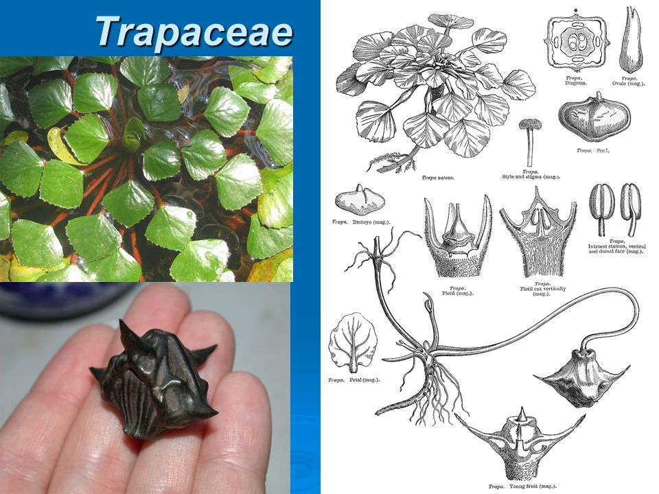 Trapaceae