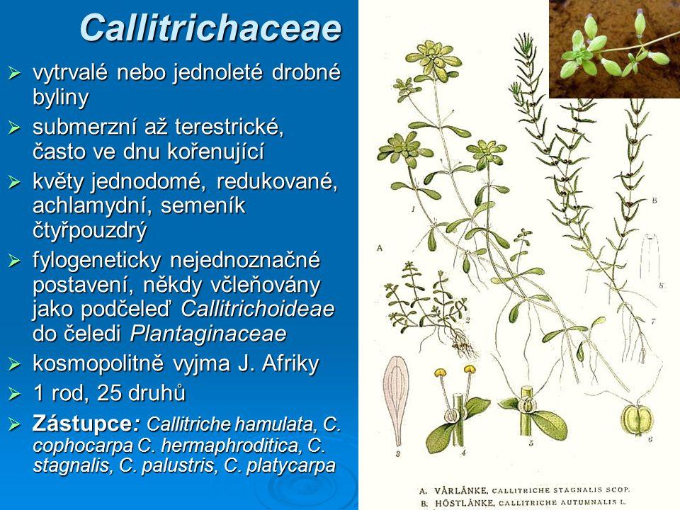 Callitrichaceae vytrvalé nebo jednoleté drobné byliny