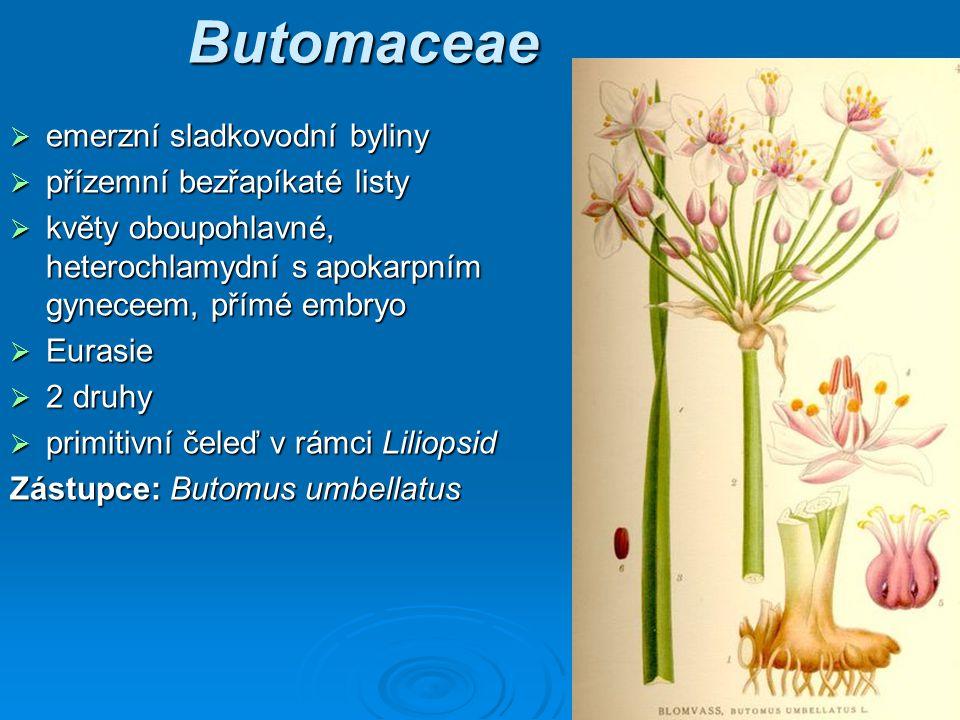 Butomaceae emerzní sladkovodní byliny přízemní bezřapíkaté listy