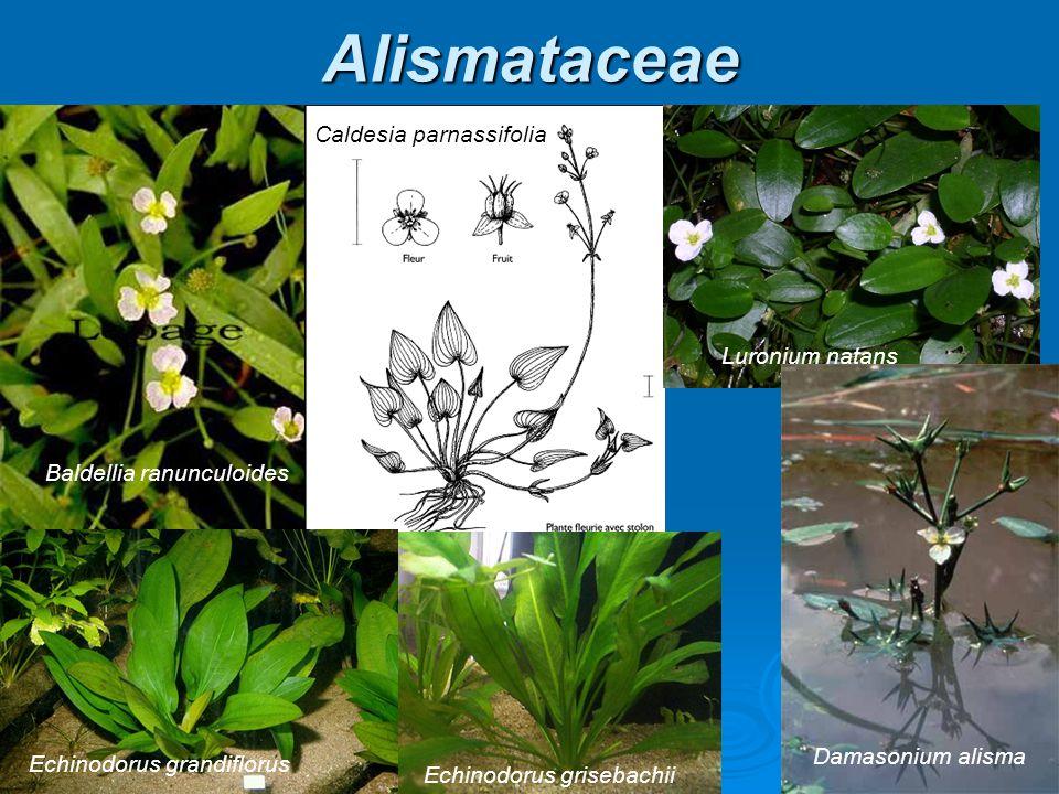 Alismataceae Caldesia parnassifolia Luronium natans