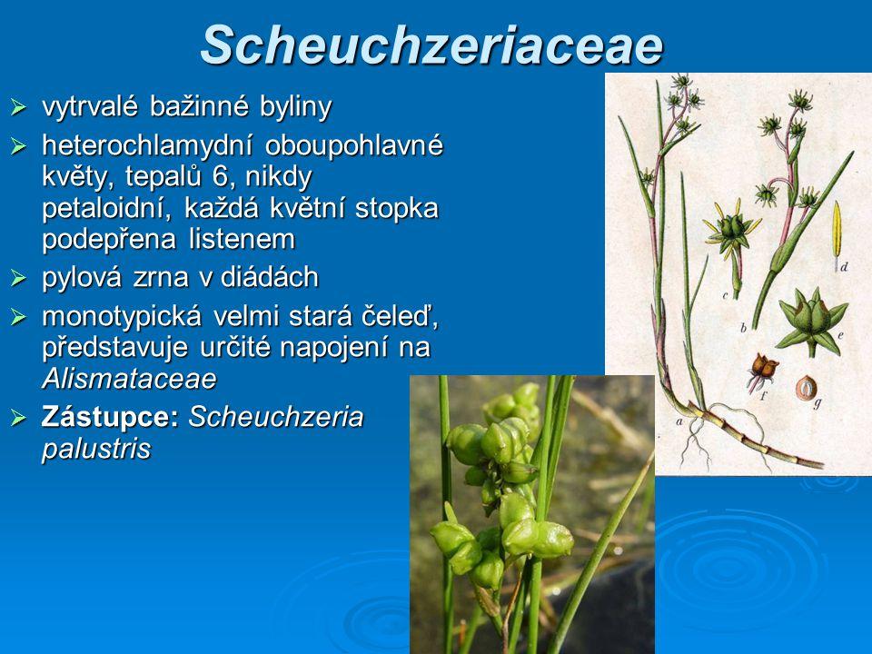 Scheuchzeriaceae vytrvalé bažinné byliny