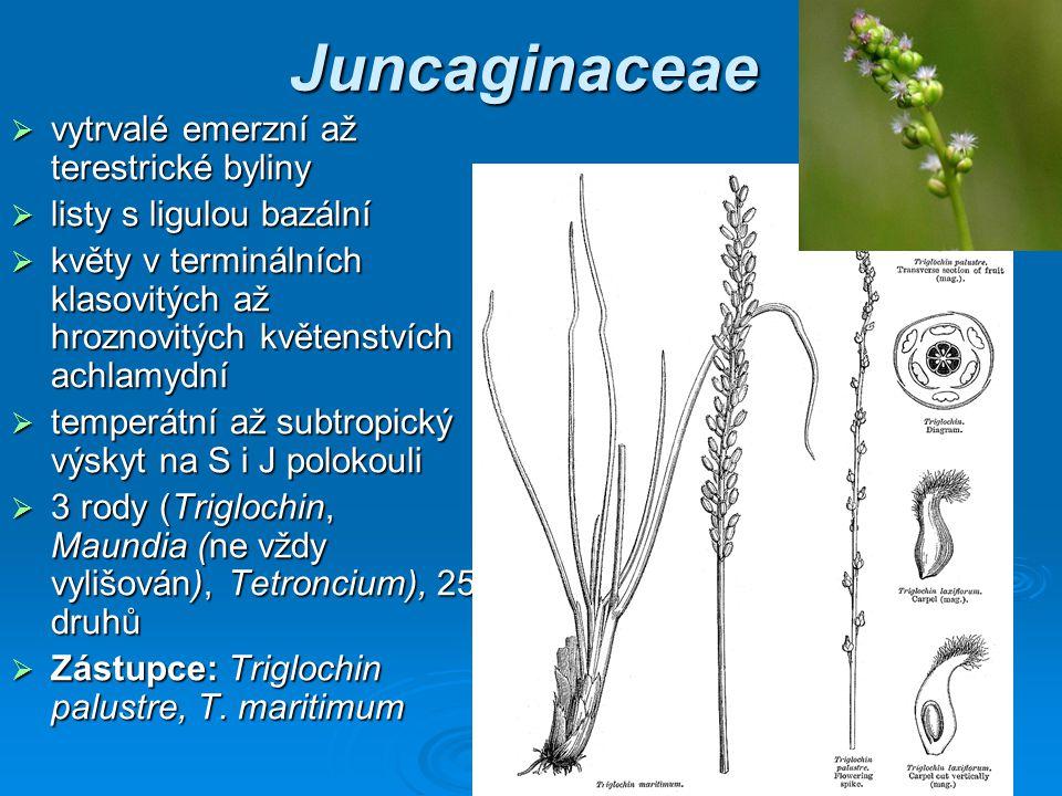 Juncaginaceae vytrvalé emerzní až terestrické byliny