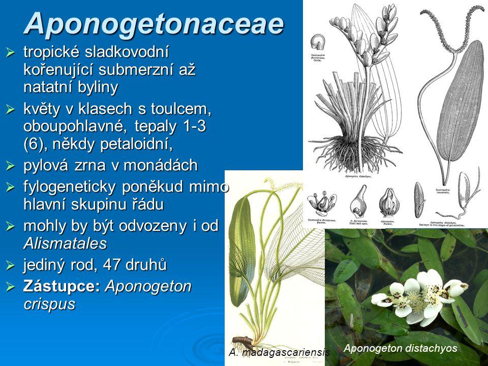 Aponogetonaceae tropické sladkovodní kořenující submerzní až natatní byliny.