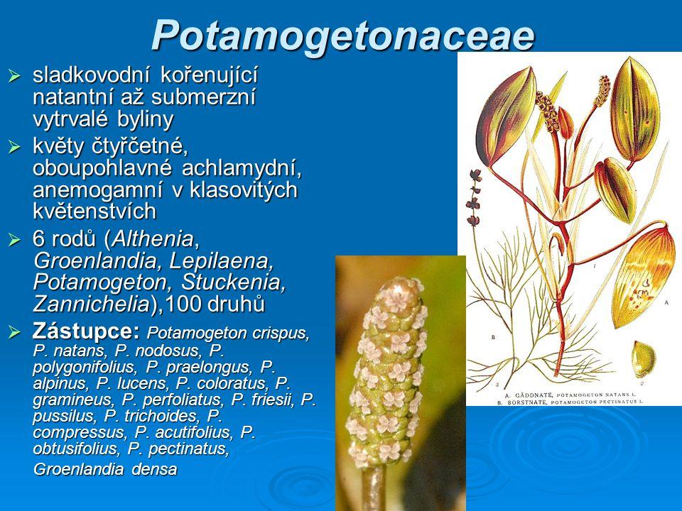 Potamogetonaceae sladkovodní kořenující natantní až submerzní vytrvalé byliny.