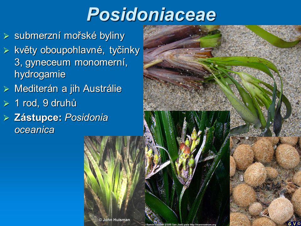 Posidoniaceae submerzní mořské byliny