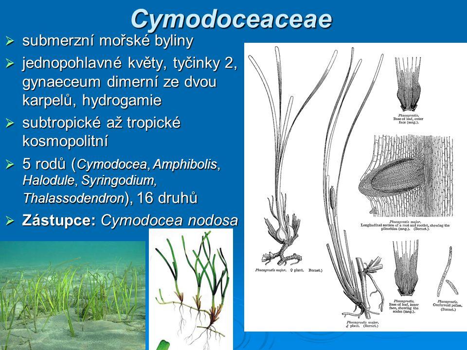 Cymodoceaceae submerzní mořské byliny