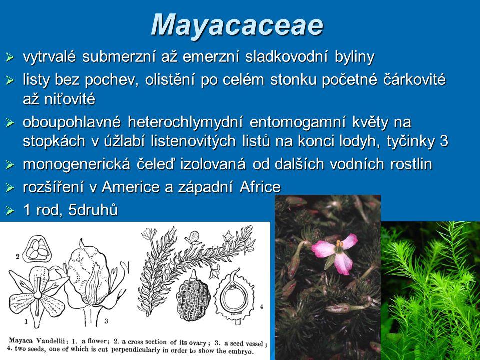 Mayacaceae vytrvalé submerzní až emerzní sladkovodní byliny
