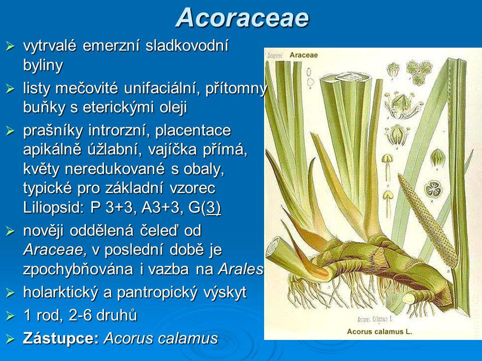 Acoraceae vytrvalé emerzní sladkovodní byliny