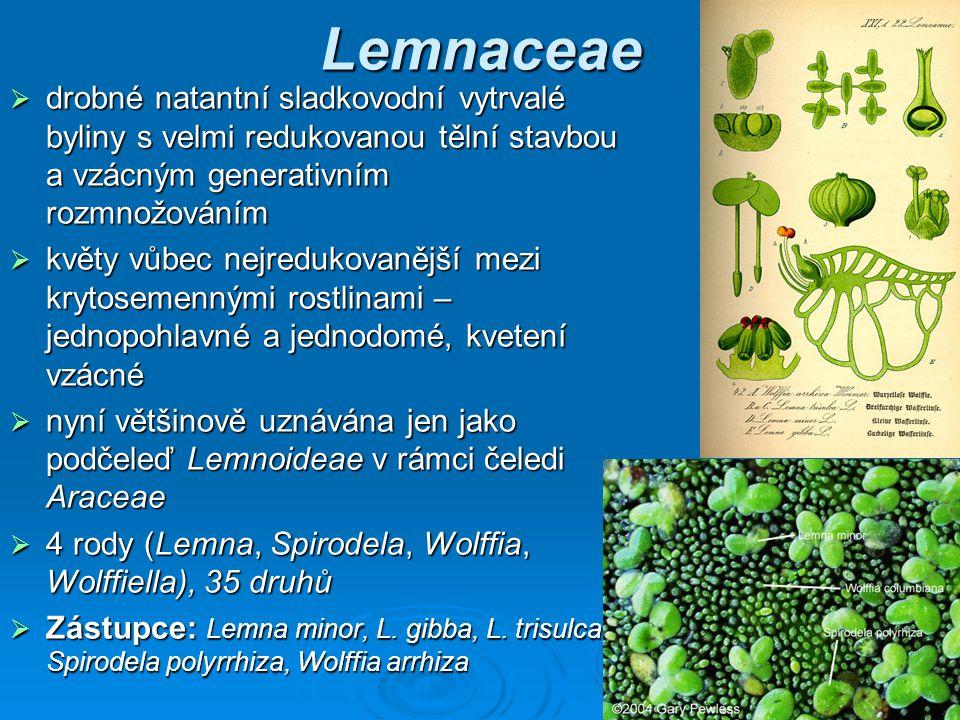 Lemnaceae drobné natantní sladkovodní vytrvalé byliny s velmi redukovanou tělní stavbou a vzácným generativním rozmnožováním.