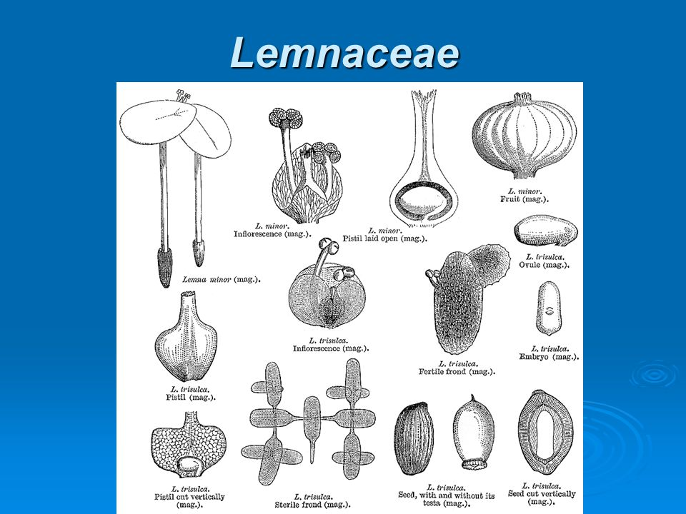 Lemnaceae