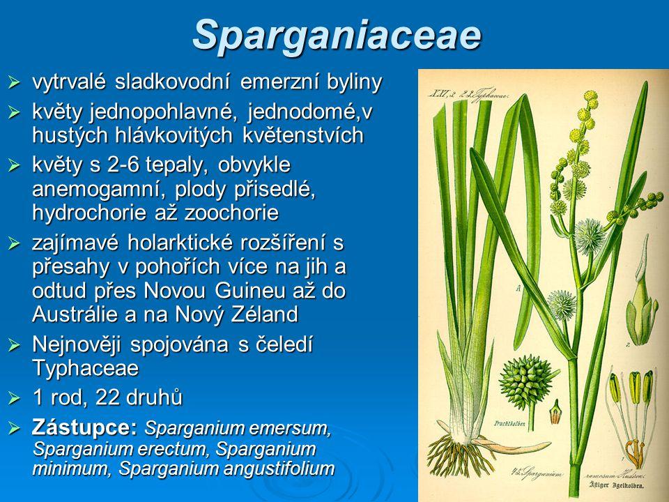 Sparganiaceae vytrvalé sladkovodní emerzní byliny