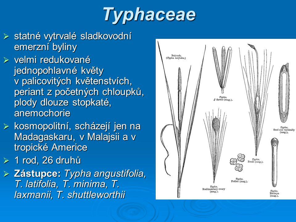 Typhaceae statné vytrvalé sladkovodní emerzní byliny