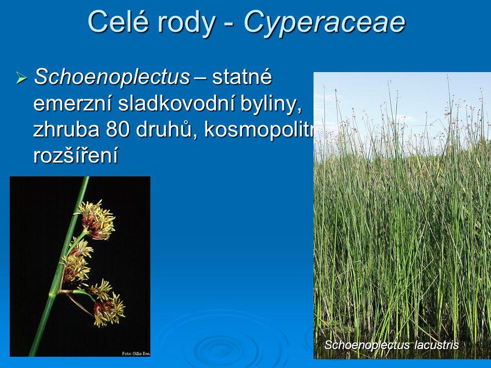 Celé rody - Cyperaceae Schoenoplectus – statné emerzní sladkovodní byliny, zhruba 80 druhů, kosmopolitní rozšíření.