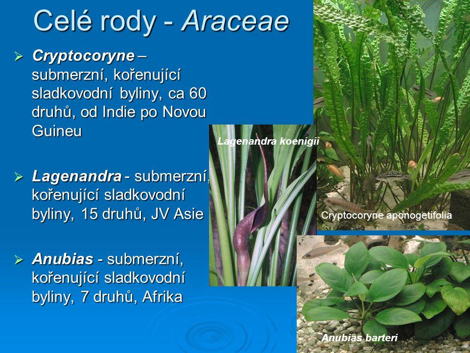 Celé rody - Araceae Cryptocoryne – submerzní, kořenující sladkovodní byliny, ca 60 druhů, od Indie po Novou Guineu.