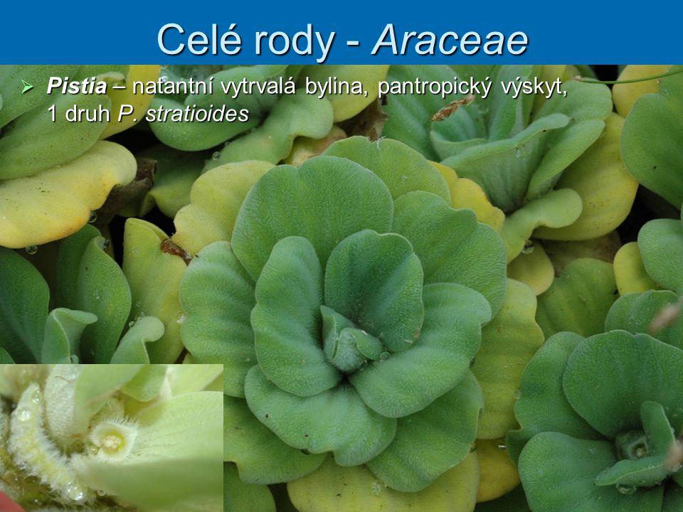 Celé rody - Araceae Pistia – natantní vytrvalá bylina, pantropický výskyt, 1 druh P. stratioides