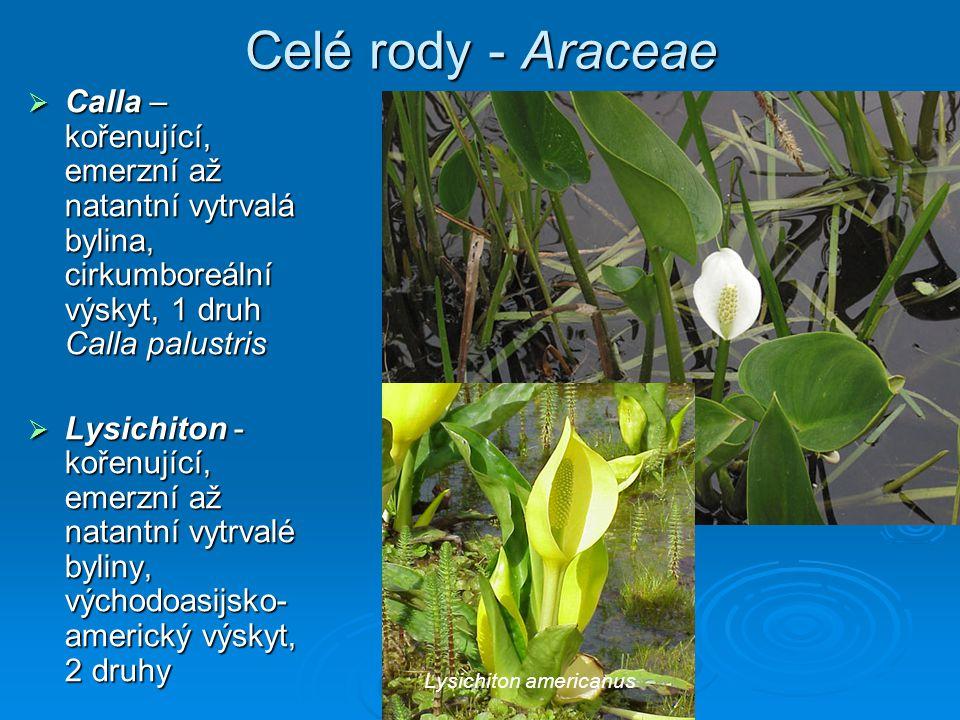 Celé rody - Araceae Calla – kořenující, emerzní až natantní vytrvalá bylina, cirkumboreální výskyt, 1 druh Calla palustris.