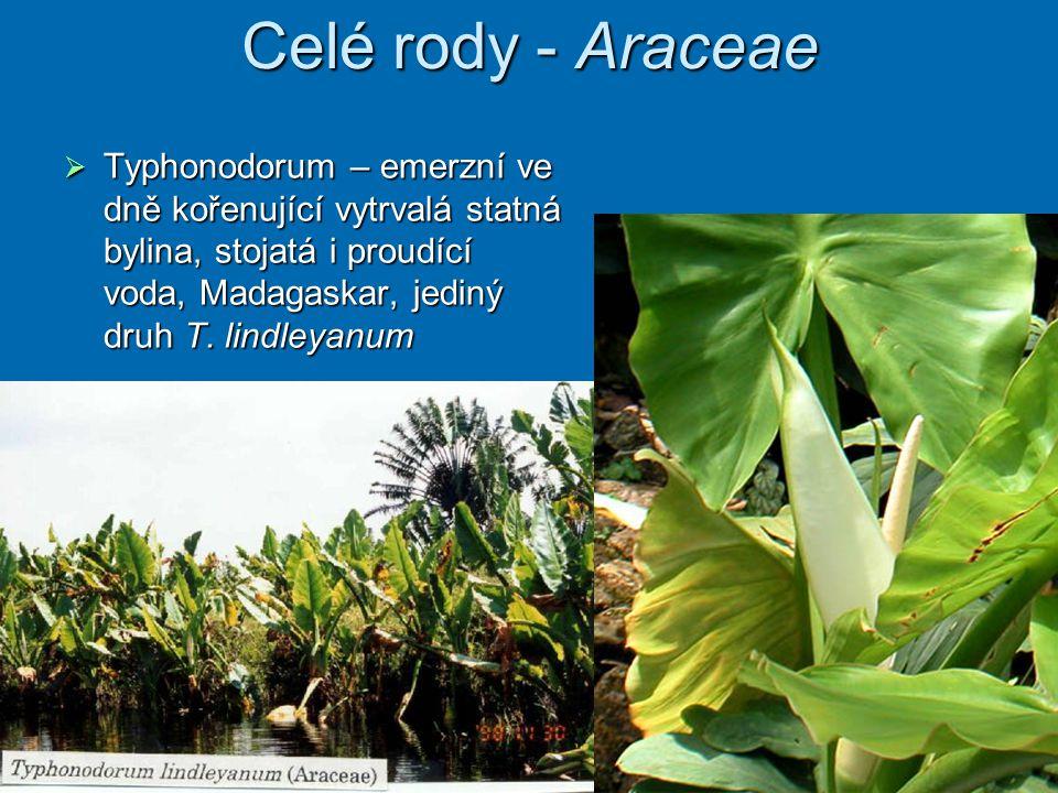 Celé rody - Araceae Typhonodorum – emerzní ve dně kořenující vytrvalá statná bylina, stojatá i proudící voda, Madagaskar, jediný druh T.