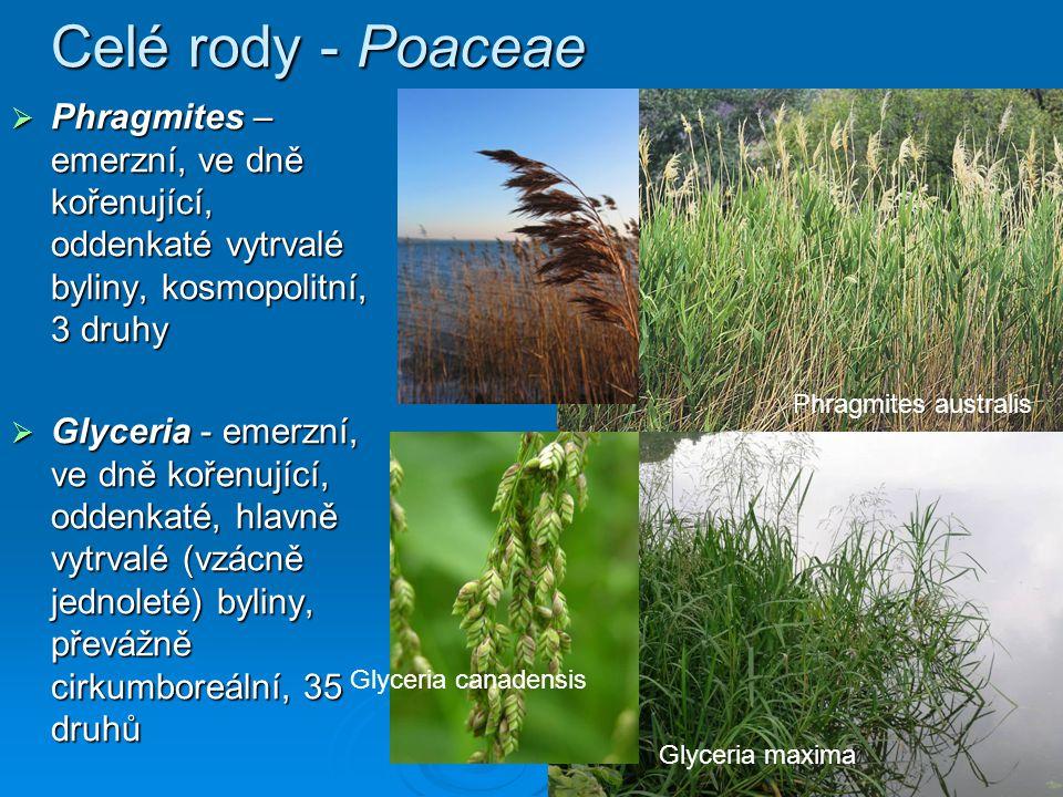 Celé rody - Poaceae Phragmites – emerzní, ve dně kořenující, oddenkaté vytrvalé byliny, kosmopolitní, 3 druhy.