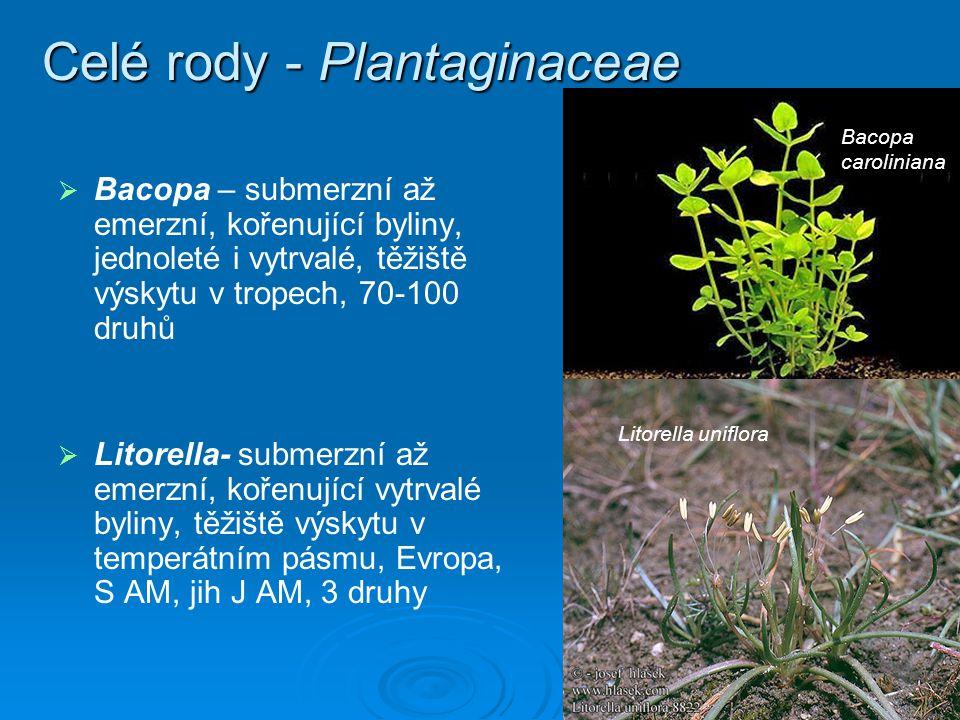 Celé rody - Plantaginaceae