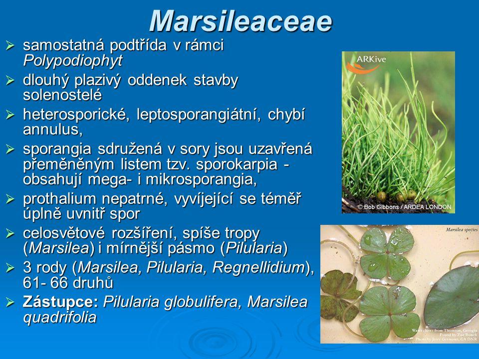 Marsileaceae samostatná podtřída v rámci Polypodiophyt