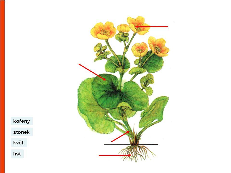 kořeny stonek květ list