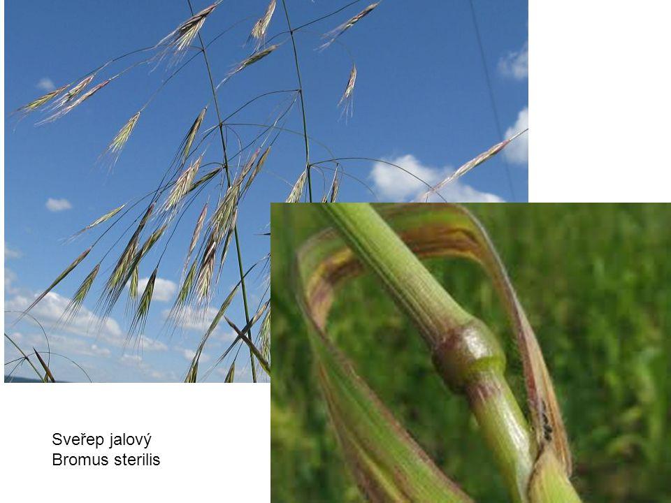 Sveřep jalový Bromus sterilis