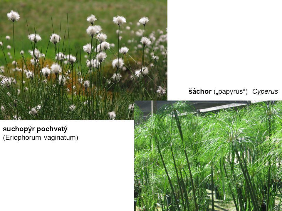 """šáchor (""""papyrus ) Cyperus"""