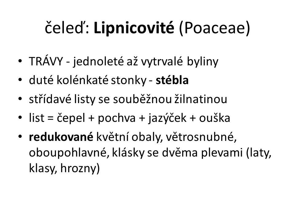 čeleď: Lipnicovité (Poaceae)