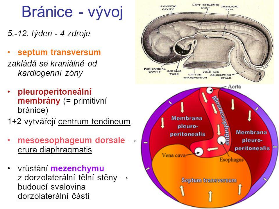 Bránice - vývoj 5.-12. týden - 4 zdroje septum transversum