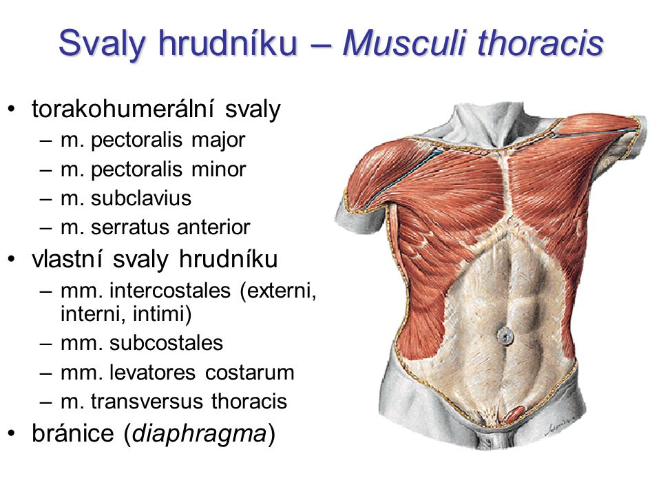 Svaly hrudníku – Musculi thoracis