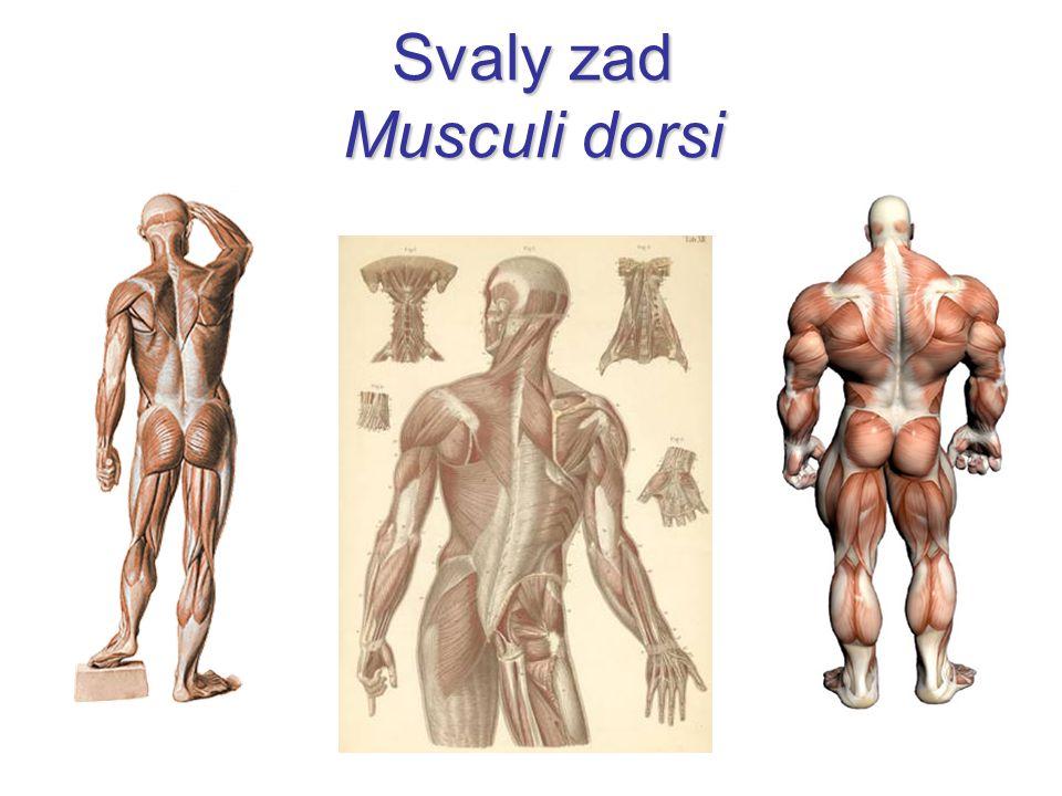 Svaly zad Musculi dorsi