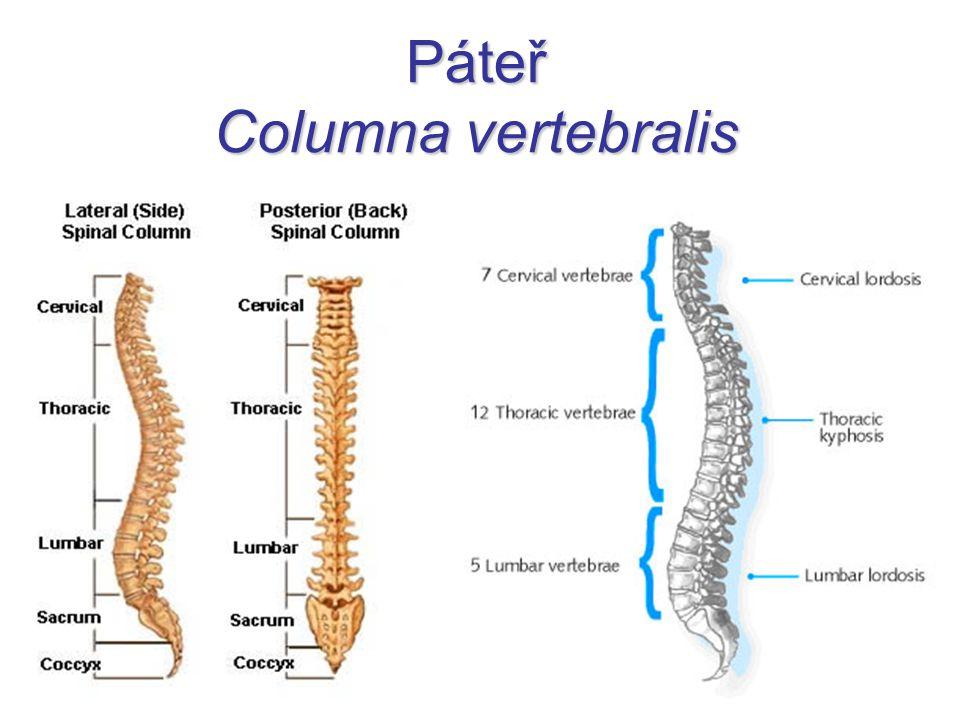 Páteř Columna vertebralis
