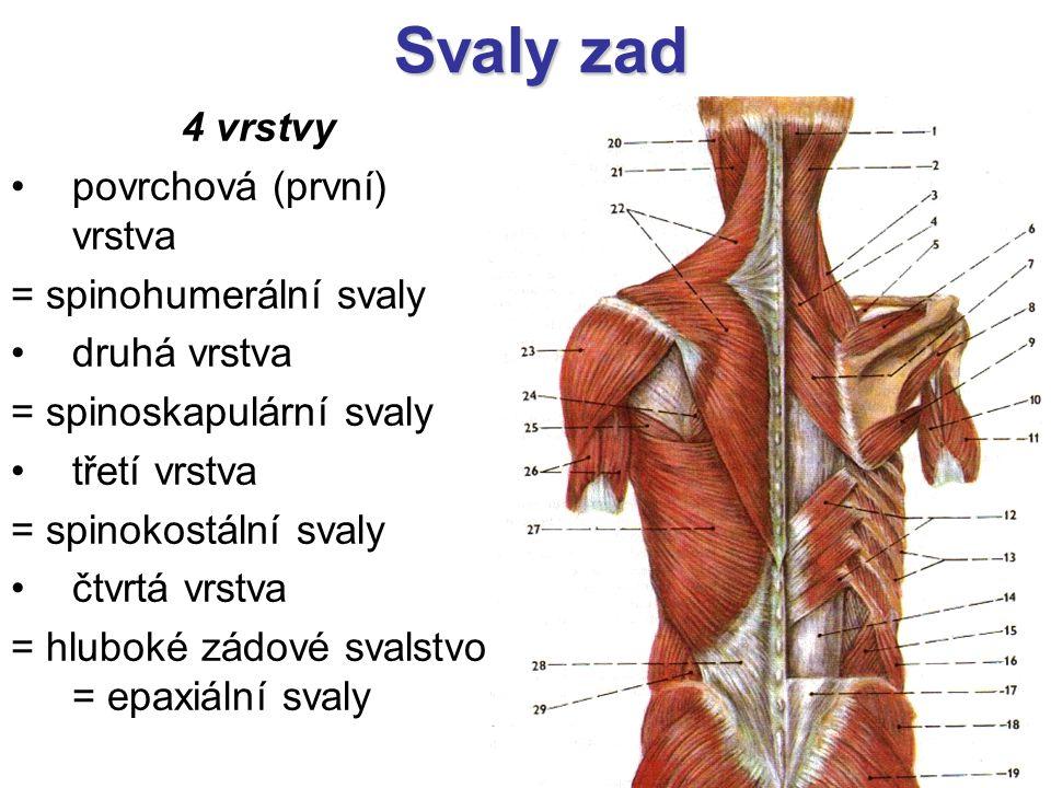 Svaly zad 4 vrstvy povrchová (první) vrstva = spinohumerální svaly