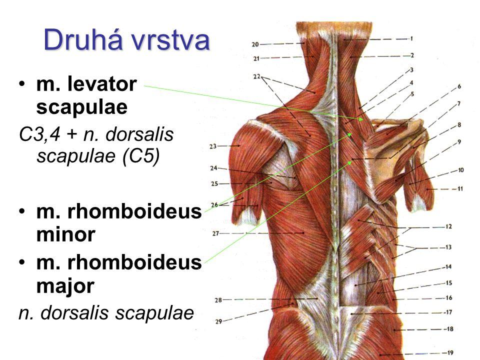 Druhá vrstva m. levator scapulae m. rhomboideus minor